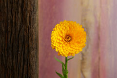 Calendula Officinalis Asteraceae Perennials Yellow Flower Stock Image