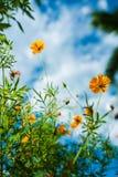 Calendula officinalis blossoms Royalty Free Stock Photos