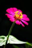 Calendula officinalis blossoms Stock Photo