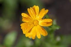 Calendula officinalis che fiorisce pianta, fiori arancio del tagete in fioritura, flowerhead arancio, gocce di rugiada di mattina immagini stock