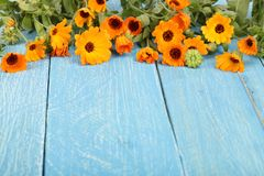 Calendula Officinalis Fiore del tagete con la foglia su fondo di legno blu con lo spazio della copia per il vostro testo fotografia stock libera da diritti