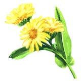Calendula Officinalis Fleur de souci avec la feuille d'isolement, illustration tirée par la main d'aquarelle sur le blanc image stock