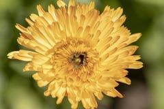 Calendula officinalis. Flowering Calendula stock images