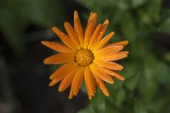 Calendula officinalis flowering plant, marigold orange flowers in bloom, orange flowerhead, morning dew drops. On petals, green background stock photos