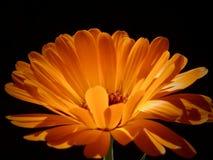 Calendula officinalis. Flowers Stock Images