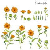 Calendula officinalis flowers isolated on white background, botanical hand drawn marigold, vector illustration for Royalty Free Stock Photos