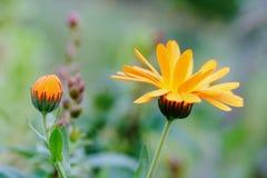 Calendula officinalis in garden Stock Photography