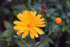 Calendula officinalis in garden Stock Image