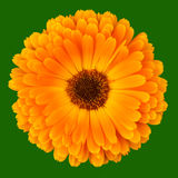 Calendula Officinalis on green Stock Photo