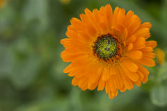 Calendula Officinalis Greenheart Orange in Garden Bed Stock Photography