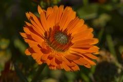 Calendula Officinalis Greenheart Orange in Garden Bed Royalty Free Stock Photo