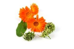 Calendula officinalis kwiaty, nagietek Zdjęcie Stock