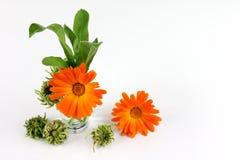 Calendula officinalis kwiaty, nagietek Obrazy Royalty Free