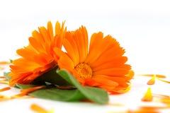 Calendula officinalis kwiaty, nagietek Obrazy Stock