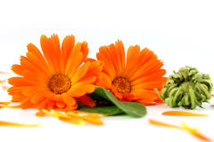 Calendula officinalis kwiaty, nagietek Obraz Royalty Free