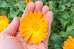 Calendula officinalis kwiaty, nagietek w ręce Zdjęcia Royalty Free