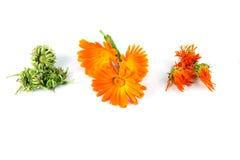 Calendula officinalis kwitną, nagietek, ziarna, suszący, Fotografia Royalty Free