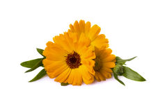 Calendula officinalis with leaves background. Calendula officinalis with leaves on a white background stock photos