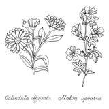 Calendula officinalis and Malva sylvestris hand drawn. On white. Object isolated Stock Photos