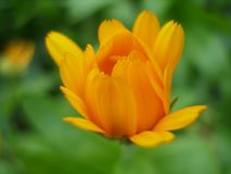 Undeveloped Marigold flower on green blurred background. Calendula officinalis. Marigold flower - herb often used in natural medicine Stock Image