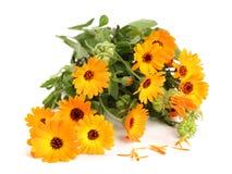 Calendula officinalis. Marigold flower with leaf isolated on white background Royalty Free Stock Images