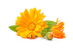 Calendula officinalis Royalty Free Stock Photos