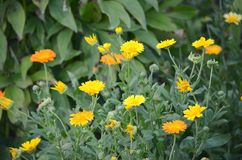 Calendula officinalis marigold medicinal healing plant blooming in a garden flower patch Royalty Free Stock Photos