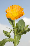 Calendula Officinalis (Medical Herb) Royalty Free Stock Image