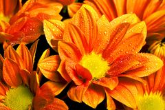 Calendula officinalis orange Royalty Free Stock Image