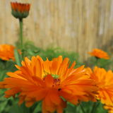 Calendula officinalis Stock Image