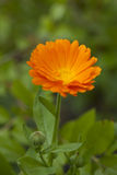 Calendula officinalis Stock Images