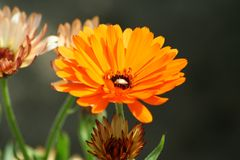 Calendula officinalis, the pot marigold, yellow. Beautiful colors of garden flowers and more. Living in harmony with nature Royalty Free Stock Image