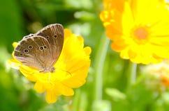 Calendula officinalis in un giorno soleggiato Fotografia Stock