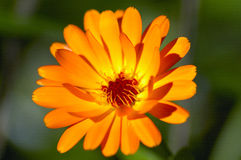 Calendula orange image libre de droits