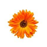 Calendula orange with dark core Royalty Free Stock Photo