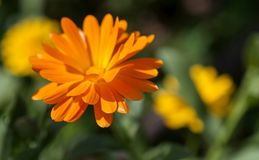 Calendula orange de floraison, foyer mou Photos stock