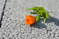 Calendula. Orange calendula flower on shlakoblok Stock Photography