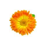 Calendula orange-yellow with a leaf Stock Image
