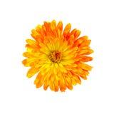Calendula orange-yellow Royalty Free Stock Images