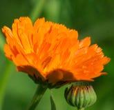 Calendula Oranje Bloem Royalty-vrije Stock Afbeelding
