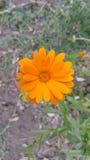 Calendula - pianta medicinale/fiore arancio fotografia stock libera da diritti