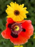 Calendula and Poppy Stock Photography