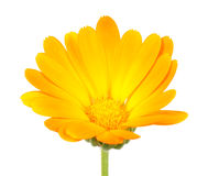 Calendula (Pot Marigold) Flower Royalty Free Stock Photo