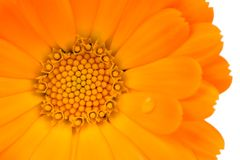 Calendula (Pot Marigold) Flower Close-Up on White Background Stock Photography