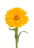 Calendula (Pot Marigold) Flower Isolated on White Background Royalty Free Stock Images