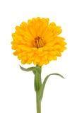 Calendula (Pot Marigold) Flower Isolated on White Background Royalty Free Stock Images