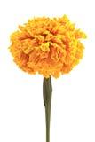 Calendula or pot marigold medicinal herbs Royalty Free Stock Image