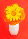 Calendula on a red background. Bouquet of calendula flowers in white vase on a red background Stock Photo