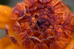 A macro top view of a Pink Surprise calendula flower. stock photography
