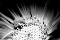 A macro view of a Calendula officinalis in black and white. stock photos